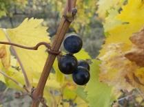 autunno foglie vite rondine amata (9)