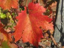 flavescenza-dorata-foglie-di-sangiovese-3