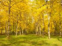 foglie-gialle-di-noci-dautunno-10