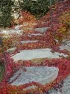 foglie rosse di vite americana e bricco dell'acqua vertine (1)