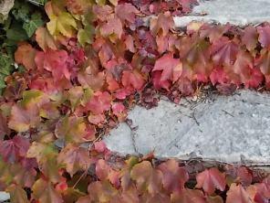 foglie rosse di vite americana e bricco dell'acqua vertine (2)