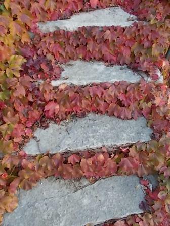 foglie rosse di vite americana e bricco dell'acqua vertine (3)