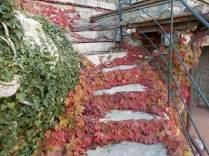 foglie rosse di vite americana e bricco dell'acqua vertine (4)