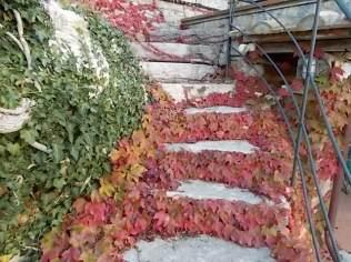 foglie rosse di vite americana e bricco dell'acqua vertine (6)