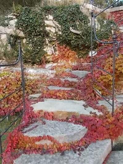 foglie rosse di vite americana e bricco dell'acqua vertine (9)