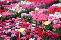 siena in fiore autunno 27 - 28 ottobre 2018 (37)