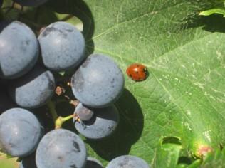 uva-e-coccinella-piccina-21
