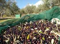 piccoli olivicoltori di vertine (2)