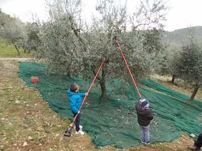 piccoli olivicoltori di vertine (5)