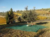 raccolta olive vertine 2018 (1)