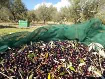 raccolta olive vertine 2018 (11)