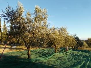 raccolta olive vertine 2018 (12)