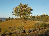raccolta olive vertine 2018 (13)