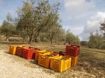 raccolta olive vertine 2018 (16)