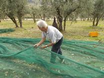 raccolta olive vertine 2018 (17)