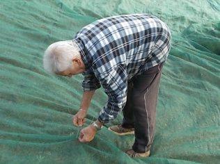 raccolta olive vertine 2018 (18)