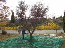 raccolta olive vertine 2018 (2)