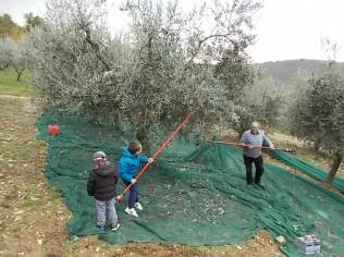 raccolta olive vertine 2018 (21)