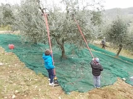 raccolta olive vertine 2018 (22)