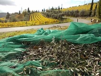 raccolta olive vertine 2018 (3)
