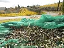 raccolta olive vertine 2018 (4)