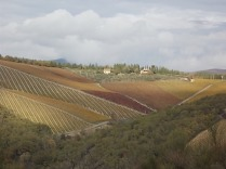 raccolta olive vertine 2018 (5)