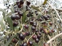 raccolta olive vertine 2018 (6)