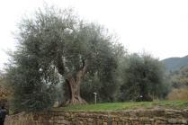abbazia di sant'antimo montalcino (19)