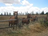 cavalli-della-berardenga