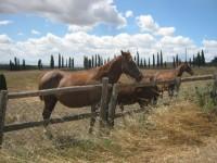cavalli-della-berardenga1