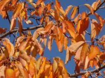 foglie di ciliegio (1)