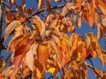 foglie di ciliegio (2)