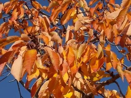 foglie di ciliegio (5)