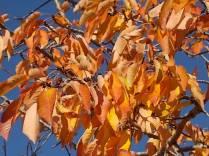 foglie di ciliegio (6)