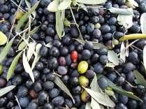 vertine raccolta olive con la panda (10)