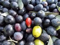 vertine raccolta olive con la panda (11)