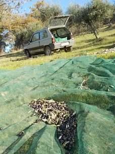 vertine raccolta olive con la panda (4)