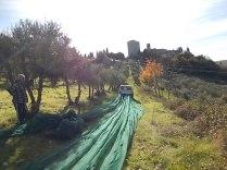vertine raccolta olive con la panda (5)