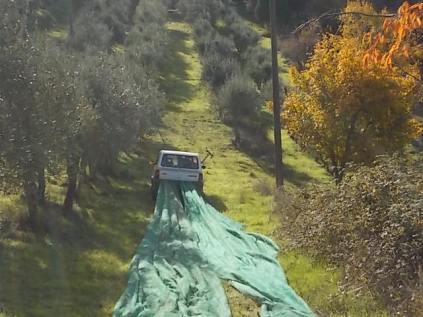 vertine raccolta olive con la panda (8)