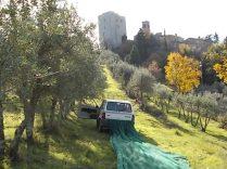 vertine raccolta olive con la panda (9)