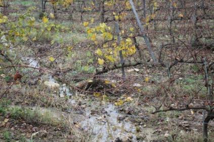 vigna risaia del brunello (3)