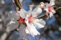 fiore di mandorlo (1)