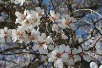 fiore di mandorlo (10)