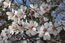fiore di mandorlo (11)
