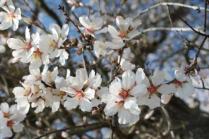 fiore di mandorlo (12)