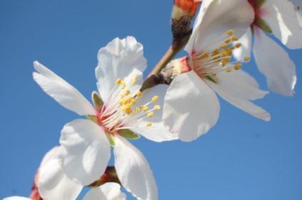 fiore di mandorlo (16)