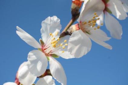 fiore di mandorlo (17)