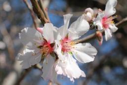 fiore di mandorlo (2)