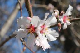 fiore di mandorlo (3)