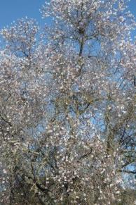 fiore di mandorlo (4)